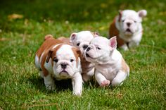 english bulldog puppies racing