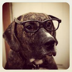 Pretty serious looking fella #dog #glasses #funny #humor