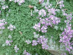 Elfin thyme is the prettiest little thyme; compact and small statured.  Spreading over an area of about one foot (30cm) across, spaced that distance apart, they quickly fill in and make a lawn.  What better plant could you ever find to make a sod substitute?  Rarely needing water, it withstands drought and heat, and poor soil.  No fertilizer required!