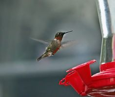 Flitting Hummer by Catherine Melvin - Animals Birds ( hovering, macro, hummingbird, male, nature photography,  )