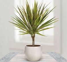 Houseplants That Can Survive Darkest Corner of Your House Dragon Tree - With stiff leaves this tree is attractive with colorful foliage. It needs low sunlight,when the leaves turn dry water it regularly. Inside Plants, Cool Plants, Air Plants, Best Indoor Plants, Indoor Garden, Balcony Garden, Plantas Indoor, Decoration Plante, Spider Plants