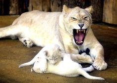 Deux petits lionceaux blancs chahutent devant leur mère Kiara, dans le zoo de Magdeburg, en Allemagne, le 6 février.