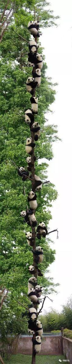 It& a man& world - Oops- Pandas grow on trees? It& a man& world Glubbs glubbs Oops Pandas grow on trees? Glubbs Pandas grow on trees? glubbs It& a man& world Oops Pandas grow on trees? Cute Funny Animals, Funny Animal Pictures, Cute Baby Animals, Animals And Pets, Baby Pandas, Animal Pics, Animals Kissing, Animal Fun, Jungle Animals