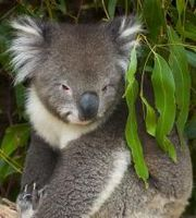 australian Koala bear a very awesome bear
