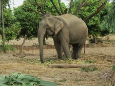 Lucky's Story: Rescuing an Elephant in Thailand