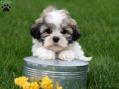 Shichon / Teddy Bear Puppies For Sale In PA!