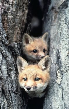 Foxes in a tree