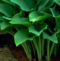 Hosta: You can grow Hostas just about anywhere. While they thrive on a little sunlight, they're also very tolerant of the shade. Their bold leaves - grey-green, striped with white or gold - are the prettiest part of the plant, although the tall flower stems appearing in summer add interest too. They require very little care - just pay attention to them in spring with some organic fertilizer.