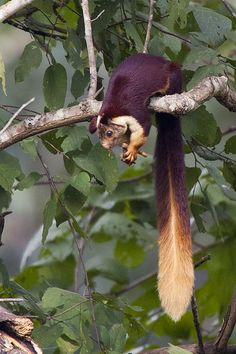 Indian giant squirrel (Ratufa indica) The Indian giant squirrel is a large tree squirrel species genus Ratufa native to India. It is a large-bodied diurnal, arboreal, and herbivorous squirrel found in South Asia. The Indian giant squirrel is an upper-canopy dwelling species, which rarely leaves the trees, and requires tall profusely branched trees for the construction of nests. It travels from tree to tree with jumps of up to 6 m.