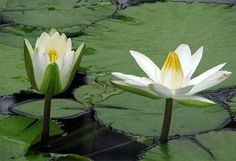 Page not found - The Lovely Planet National Symbols, Pink Lotus, Water Flowers, Roots, Planets, Lily, Nature, Image, Egyptian