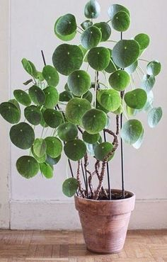 pilea perperomioides (chinese money plant) Available from North One Garden Centre London