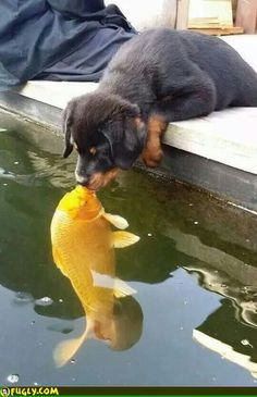 Puppy kissing a Koi Fish