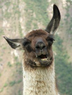 Wat zou een Peru reis zijn zonder de lama? Deze gekke dieren wisten ons iedere dag weer op te vrolijken.