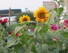L'association des cultures au potager - Garden Tips For Beginners Plan Potager, Potager Garden, Permaculture, Spring Garden, Trellis, Agriculture, Gardening Tips, The Neighbourhood, Planters