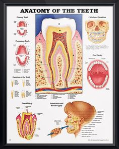 Anatomy of the Teeth poster presents and labels primary teeth, permanent teeth, childhood dentition and oral cavity. Dentistry chart for doctors and nurses.