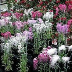 Dianthus (Dianthus Superbus Spooky Mix) - The sweet, candy-like fragrance is a wonderful benefit of growing this Dianthus seed. Dianthus Superbus Spooky mix is