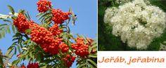 jerab-jerabina-ucinky-na-zdravi-co-leci-pouziti-uzivani-vyuziti Korn