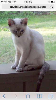 This is exactly what my Henry looks like : )  Lilac point Siamese kitten