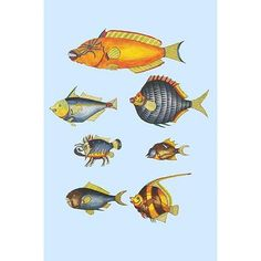 """Buyenlarge 'Rarest Curiosities of The Fish of The Indies' by Louis Renard Graphic Art Size: 36"""" H x 24"""" W x 1.5"""" D"""