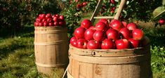Z jablek vykouzlíte zavařováním zázraky Granny Smith, Growing Apple Trees, Fruit Trees For Sale, Dehydrated Apples, Dandelion Wine, Berry Plants, Growing Lettuce, Vegetable Garden Planning, Landscaping Trees
