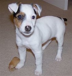 parson russell terrier info | This is a little 4-month-old Parson Russell Terrier named Vincent.