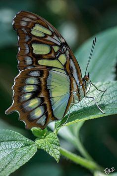 Beautiful butterfly, Siproeta stelenes meridionalis