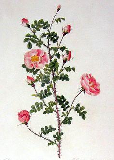Double Pink Scotch Briar Autumn Damask Rose 2 by mysunshinevintage