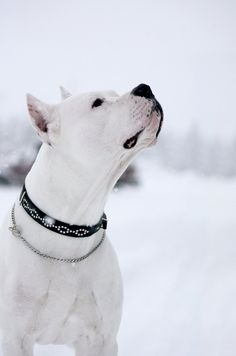 Snow Day #dogo #argentino