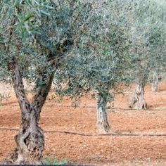 How to Cut an Olive Tree Branch to Create a New Plant