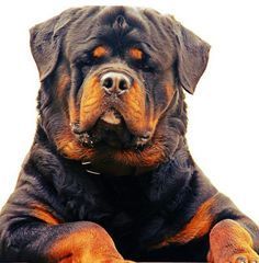 """Outstanding """"rottweiler puppies"""" info is available on our internet site. Check it out and you will not be sorry you did. Big Dogs, I Love Dogs, Dogs And Puppies, Cute Dogs, Doggies, Corgi Puppies, Sweet Dogs, German Dog Breeds, Malinois"""
