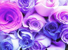 blue and purple roses