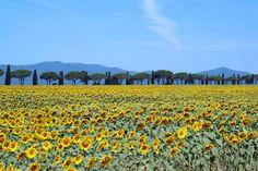 Durante o verão, dirigir pelas estradas toscanas significa encontrar belas paisagens tingidas de amarelo