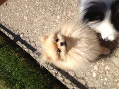 Pomeranian, pom, cream pom, fluffy, dog, puppy