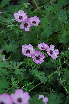 Geraniumsorter. Olika sorter blommar olika tider på året. flera färger