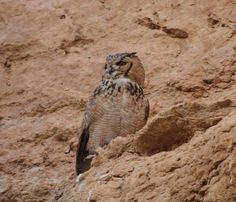 Pharaoh Eagle-Owl (Bubo ascalaphus) by mansorea <