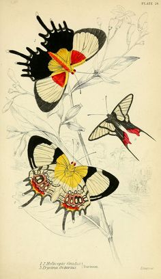 1858 - Foreign butterflies by James Duncan, Sir William Jardine, via bhl Vintage Butterfly, Butterfly Art, Nature Prints, Art Prints, Science Illustration, Butterfly Illustration, Insect Art, Antique Prints, Beautiful Butterflies