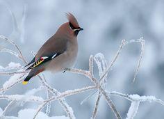 Tilhi, via Flickr. Poetry Art, Finland, Things To Come, Smooth, Photography, Birds, Garden, Photograph, Garten