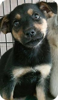 middle island, NY - Chihuahua Mix. Meet SUMMER, a puppy for adoption. http://www.adoptapet.com/pet/15891155-middle-island-new-york-chihuahua-mix