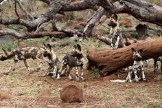 A wild dog pack seen on a wildlife photographic safari in Zimanga with Africa Geographic Travel.