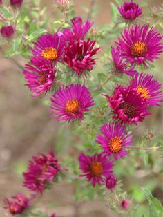 New England Aster (Aster novae-angliae) 'September Ruby. Blooms late summer to late fall. Four feet tall. Aster Flower, Flower Pots, Orange Center, Garden Borders, Colorful Garden, Ornamental Grasses, Autumn Garden, Garden Spaces, Native Plants