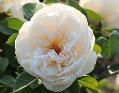 Summer Memories (Palatine Roses)