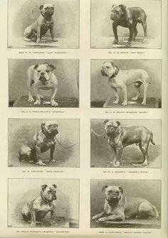 Vintage Bulldog Pic Bulldog Breeds French Bulldog Breed Bulldog