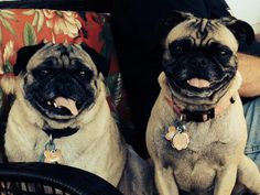 Otis & Tulip adopted 2011 follow on fb O is for Otis, T is for Tulip, P is for Pug #SmartGirlsAdopt @karma_bullet