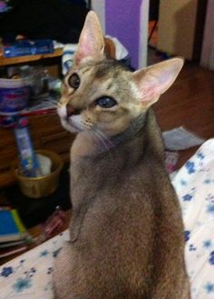 Our Blue Abyssinian, he is blind in his one eye, but that doesn't stop him!
