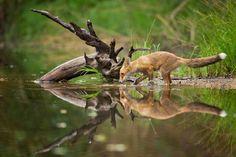 Η κόκκινη αλεπού έχει ένα επίμηκες σώμα και σχετικά κοντά άκρα. Η ουρά της, η οποία είναι μεγαλύτερη από το μισό του μήκους του σώματός της, είναι αφράτη και φτάνει στο έδαφος όταν είναι σε όρθια θέση. © Milan Zygmunt / National Geographic Photo Contest