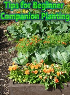 While it takes time to learn the intricacies of companion planting, there are a few things you can do to get started. If you're interested in reducing fertilizer usage and helping your plants grow, consider some of the following beginner techniques...#gardening