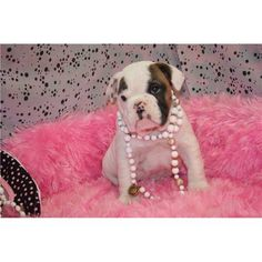 Dogs classifieds: Adorable English Bull Dog puppies for free Adop
