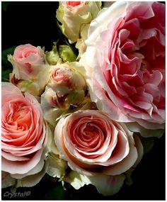 rosier cesar