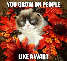 Grumpy Cat in October 2016 Grump Cat, Grumpy Cat Meme, Cat Memes, Grumpy Quotes, Cute Cats, Funny Cats, Funny Looking Cats, Niche Chat, Stupid Cat