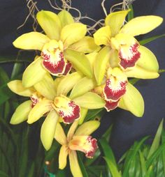 orchids from hawaii - Yahoo! Search Results